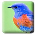 Bluebird_IB