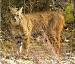 Bobcat color adj low res-150x128