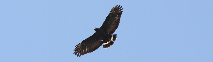 Cropped from: https://upload.wikimedia.org/wikipedia/commons/e/ee/Common_Black-Hawk_(Buteogallus_anthracinus)_(5912312410).jpg