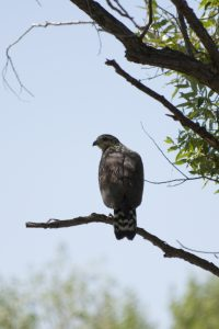 One of two black hawk juveniles born in 2017 in Watson Woods Riparian Preserve.