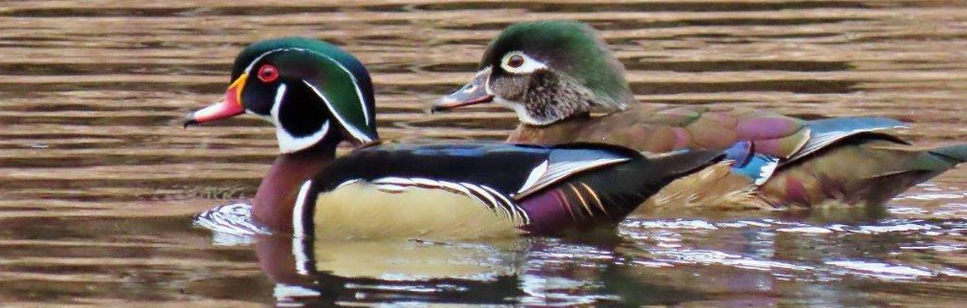 Wood Ducks - 📷 EF Sanborn
