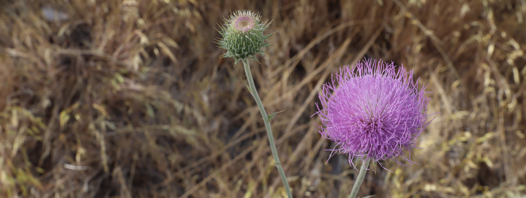 New Mexico Thistle - Not a Weed - 📷 M Byrd