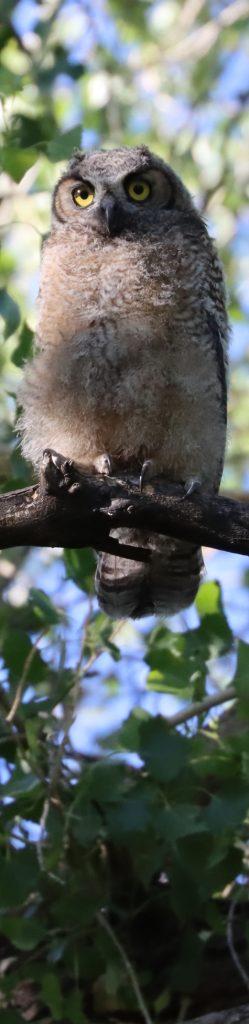 Owlet in Cottonwood