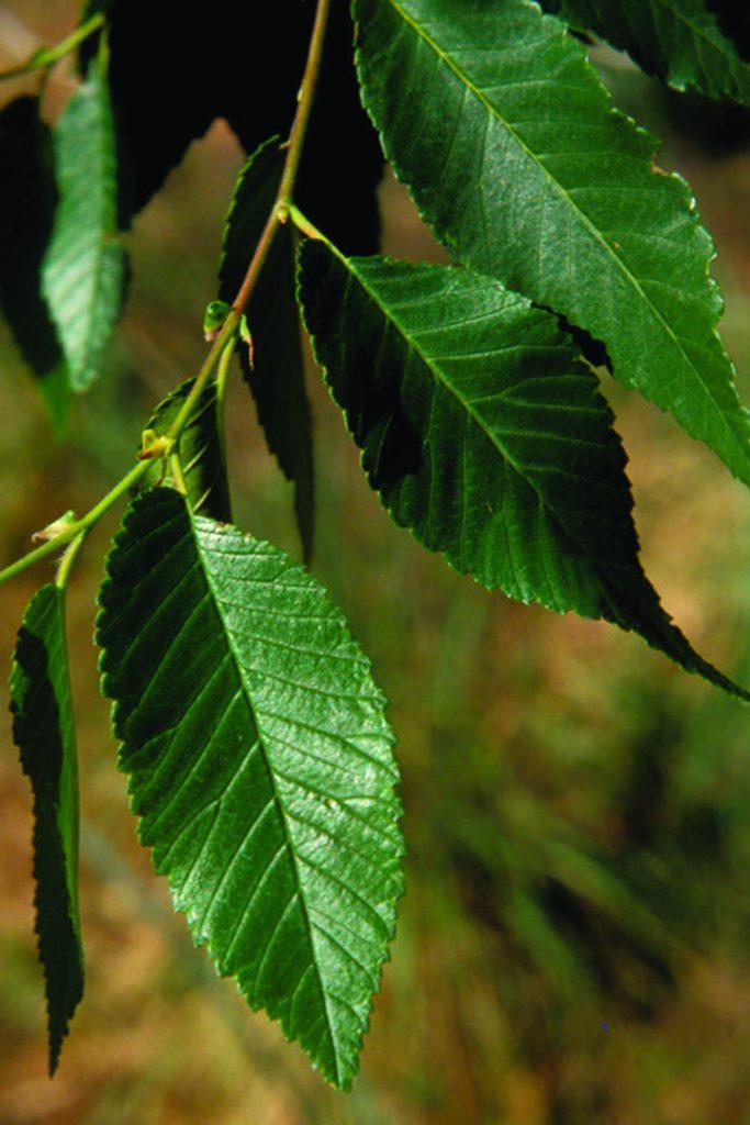 Siberian Elm Leaves - 📷 JM Randall, TNC