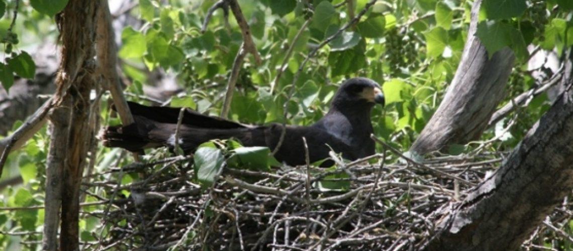 Black Hawk Nest-Edit