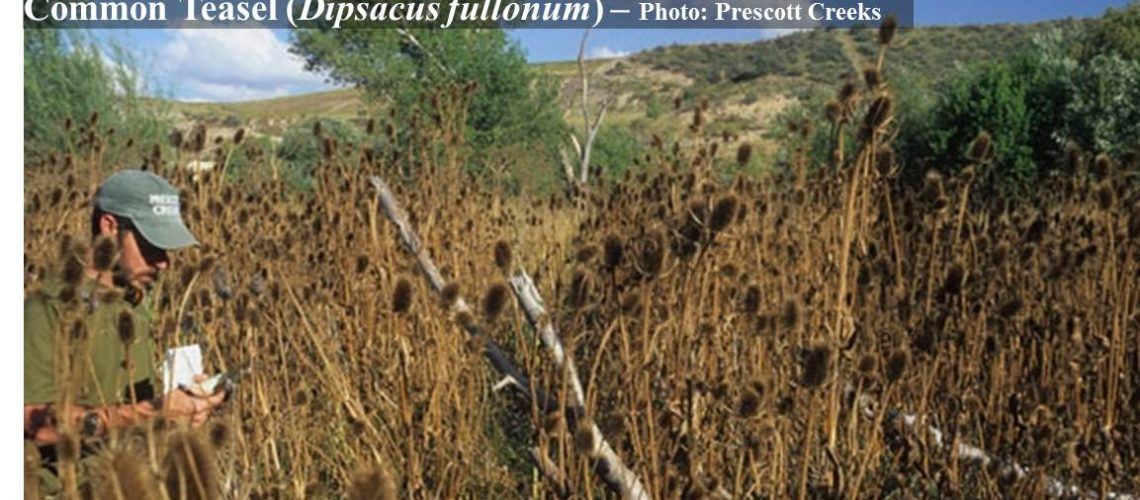 Invasive infestation in one of Watson Woods' wetlands