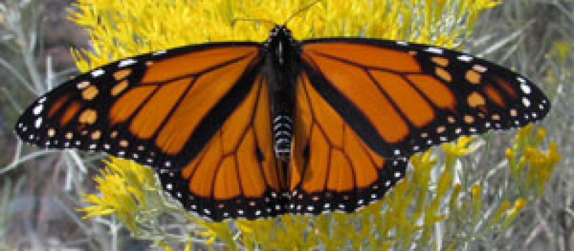 Monarch in Watson Woods Riparian Preserve Photo Credit: Denise and Rob Gibbs