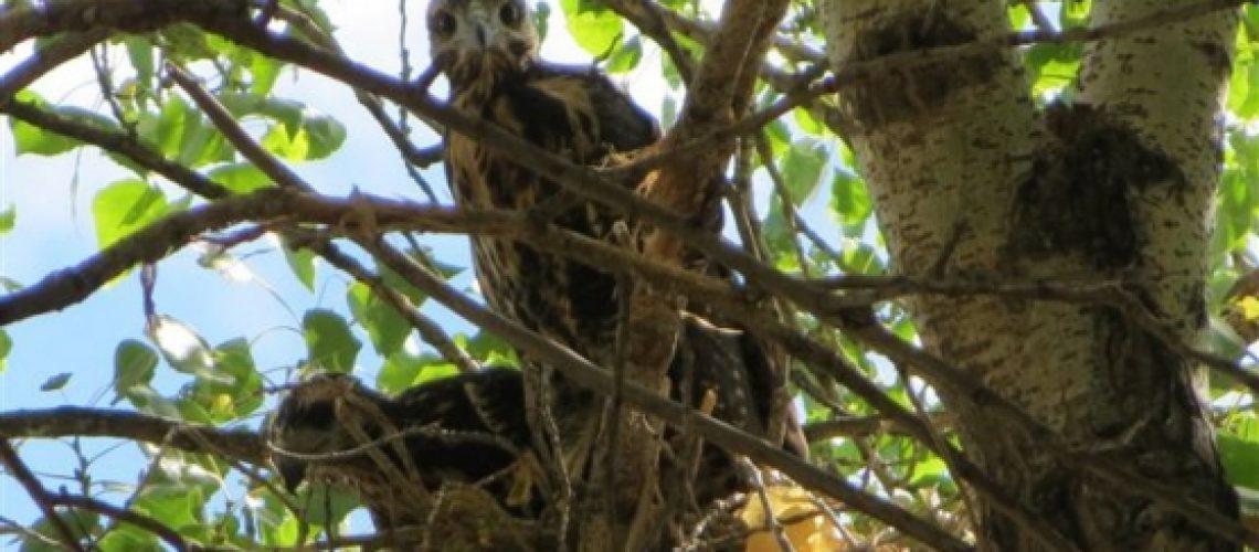 Watson Woods-July 72014-Hawks 037